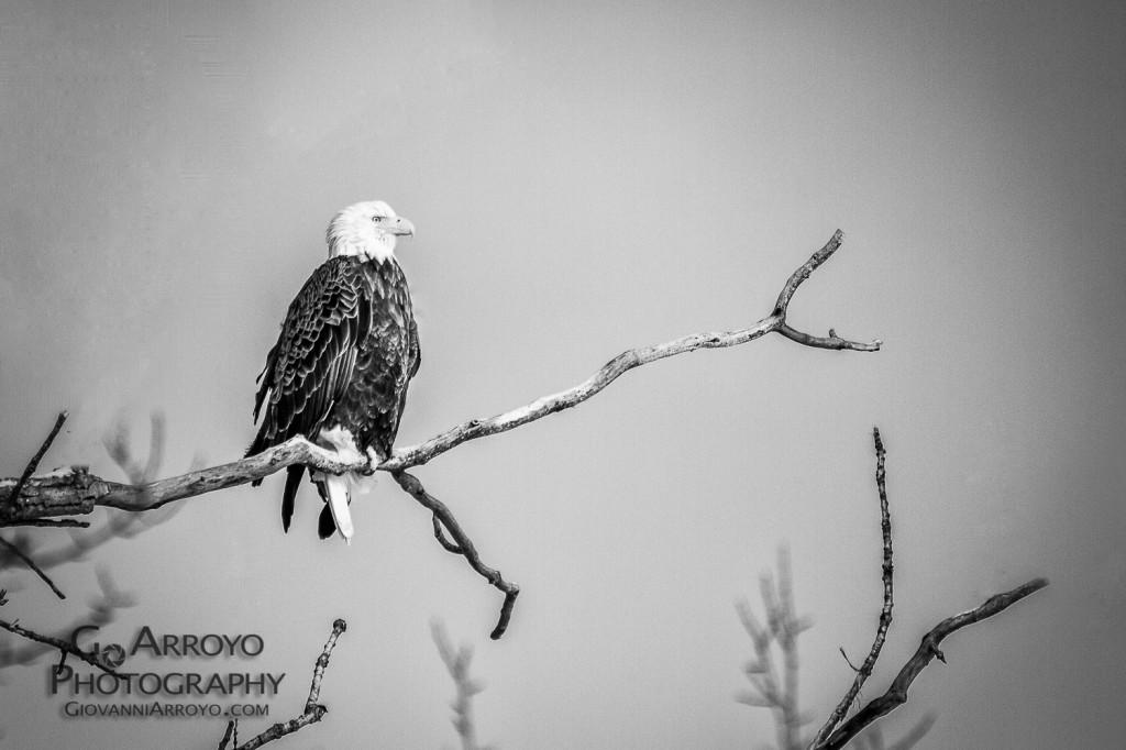 Bald Eagle on the Fox